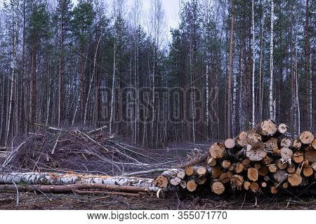 Unauthorized Timber Cutting Or Timber Harvesting In The Spring Or Autumn Forest Or Park In The Cloud