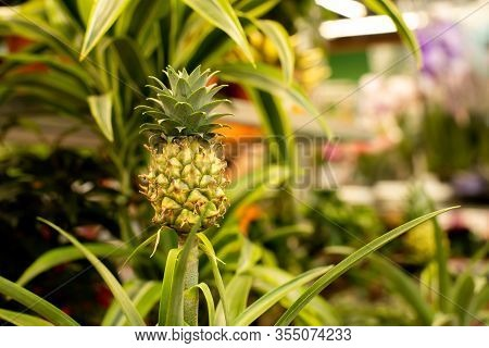 Yellow Pineapple Fruit In A Greenhouse Of Tropical Plants. Ripe Bright Tasty Bromelia Ananas Pineapp