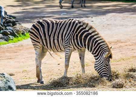 The zebra in zoo in Auckland, New Zealand. The zoo is important for the conservation of the fauna of New Zealand. The concept of active, ecological and educational tourism