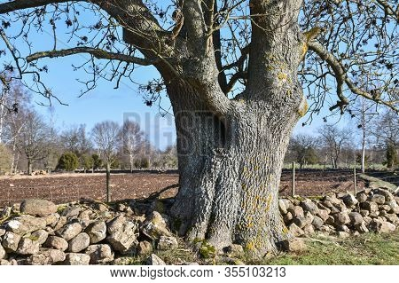 Wide Old Ash Tree Trunk In A Rural Landscape At The Island Oland In Sweden