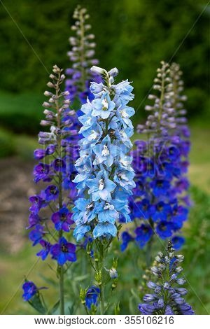 Blue Delphinium Flowers Blooming On Blurred Background. Candle Delphinium High Garden Blue Flower. E