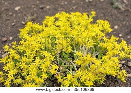 Yellow Groundcover Flowers Sedum Acre. Cuckoo Bread