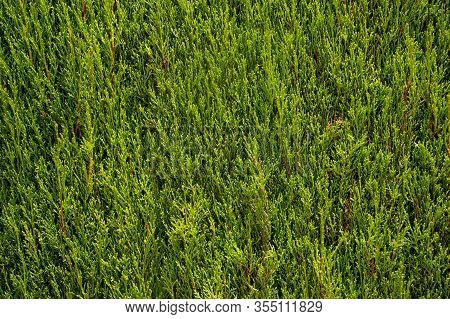 Natural Clipped Pruned Green Thuja Background. Summer