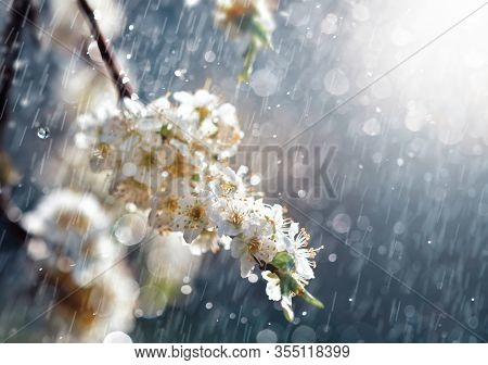 Spring Rain In The Garden. White Flowers Of Cherry Plum In The Rain On A Spring Day. Soft Focus And