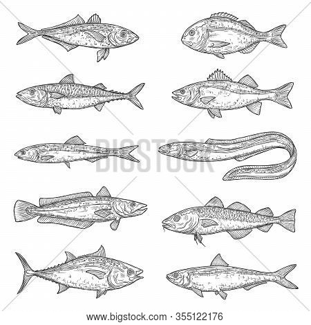 Fish Animal Sketches. Salmon, Tuna And Dorado, Marine Eel, Mackerel And Anchovy, Hake, Bass And Pilc