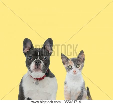cute french bulldog dog wearing red collar next to a metis cat looking at camera serious on yellow background