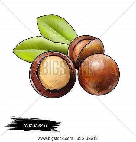 Macadamia Nut Isolated On White Background. Queensland Nut, Bush Nut, Maroochi Nut, Bauple Nut, And
