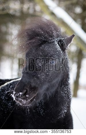 Black Pony In Manege At Winter Day