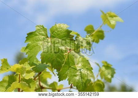 Chardonnay Grape Vine Leaves - Latin Name - Vitis Vinifera Chardonnay