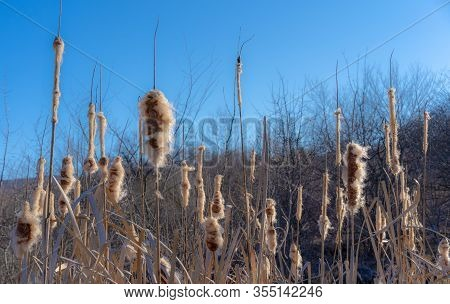 Withered Reeds In Early Spring.withered Reeds In Early Spring