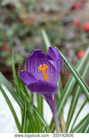 Spring Crocus - Latin Name - Crocus Vernus