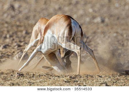 Springbuck in Etosha National Park, Namibia poster