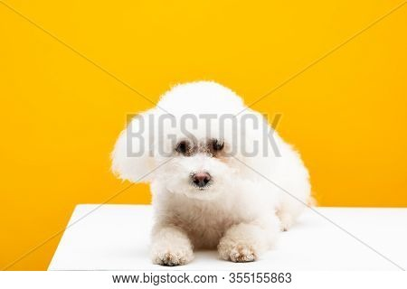 Cute Bichon Havanese Dog Looking At Camera On White Surface Isolated On Yellow