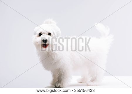 Cute Havanese Dog In Knitted Hat With Bubo Looking At Camera On White Surface Isolated On Grey