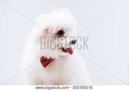 Havanese Dog With Red Bow Tie Isolated On Grey