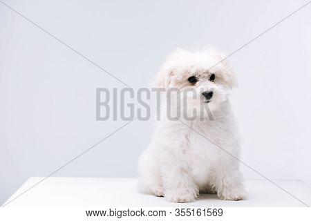 Fluffy Bichon Havanese Dog Sitting On White Surface Isolated On Grey