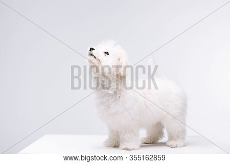 Bichon Havanese Dog Looking Up On White Surface Isolated On Grey