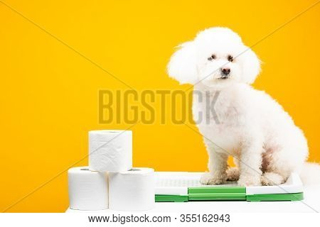 Cute Havanese Dog Sitting On Pet Toilet Near Toilet Paper On White Surface Isolated On Yellow