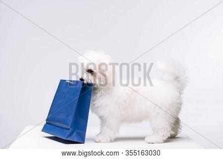 Havanese Dog Holding Blue Paper Bag On White Surface Isolated On Grey