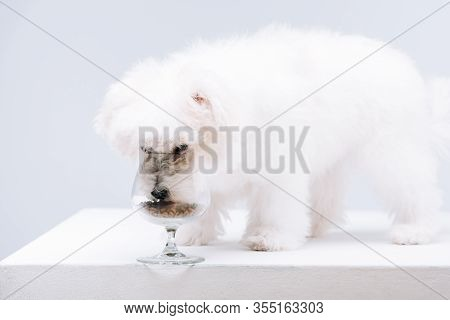 Havanese Dog Eating Dry Dog Food From Wine Glass On White Surface Isolated On Grey
