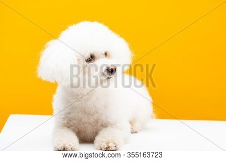 Fluffy Havanese Dog Looking Away On White Surface Isolated On Yellow