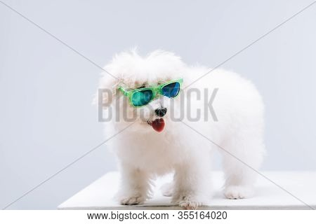 Bichon Havanese Dog In Green Sunglasses On White Surface Isolated On Grey