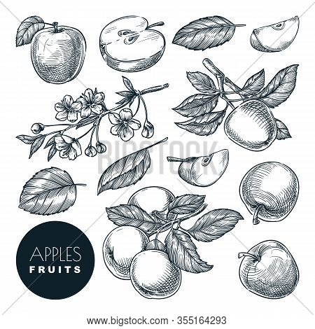 Apple Sketch Vector Illustration. Sweet Fruits Harvest, Hand Drawn Garden Agriculture And Farm Isola