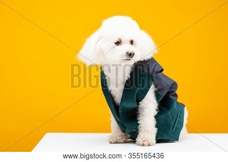 Havanese Dog In Waistcoat Looking Away On White Surface Isolated On Yellow