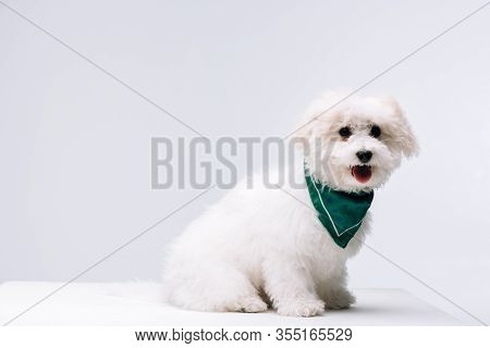 Cute Havanese Dog In Green Neckerchief On White Surface Isolated On Grey
