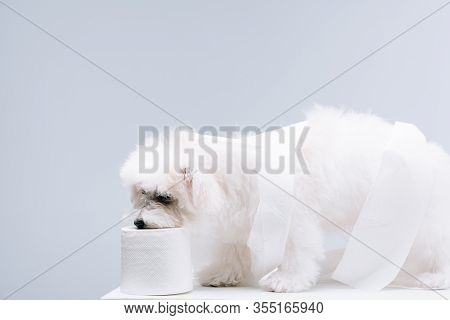 Havanese Dog Coiled Up In Toilet Paper On White Surface Isolated On Grey