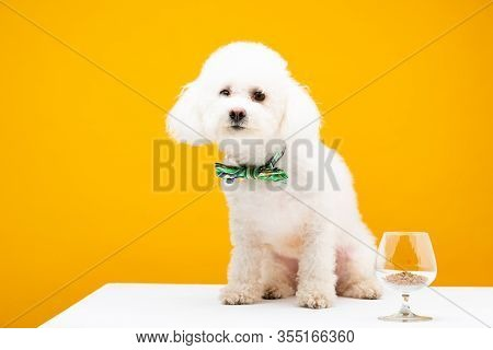 Havanese Dog In Bow Tie Sitting Near Wine Glass With Dry Dog Food On White Surface Isolated On Yello