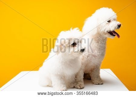 Cute Havanese Dogs Looking Away On White Surface Isolated On Yellow