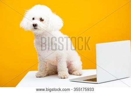 Havanese Dog Sitting Near Laptop On White Surface Isolated On Yellow