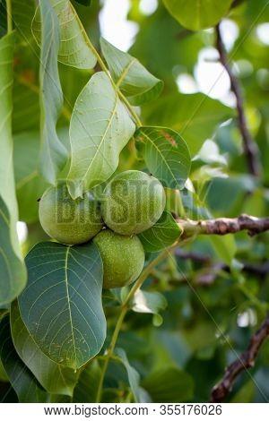 Any Walnuts Hang On A Walnut Tree