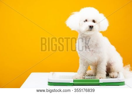 Havanese Dog Sitting On Pet Toilet On White Surface Isolated On Yellow