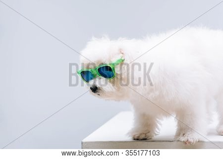 Cute Havanese Dog In Green Sunglasses On White Surface Isolated On Grey