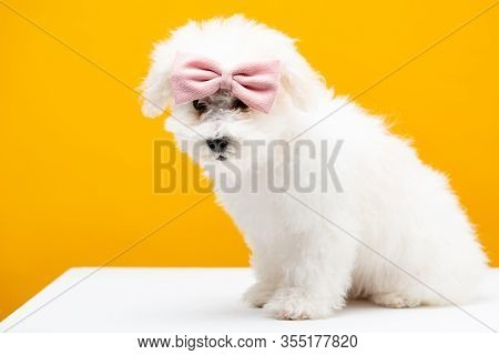 Bichon Havanese Dog With Pink Bow Tie On Head Sitting On White Surface Isolated On Yellow