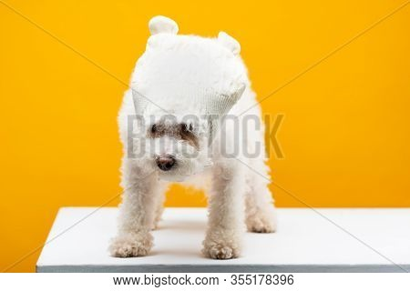 Cute Havanese Dog In Knitted Hat On White Surface Isolated On Yellow