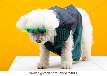 Bichon Havanese Dog In Waistcoat And Sunglasses On White Surface Isolated On Yellow