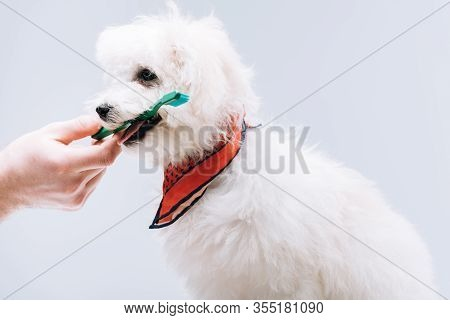 Cropped View Of Man Giving Toothbrush To Havanese Dog In Neckerchief Isolated On Grey