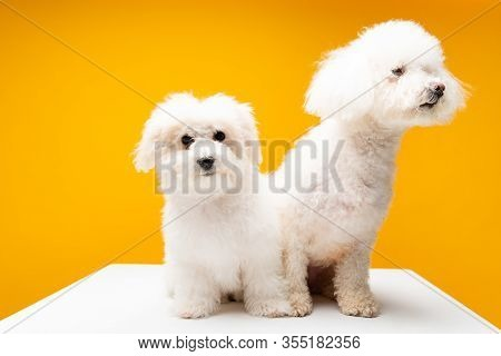Cute Havanese Dogs Sitting On White Surface Isolated On Yellow