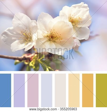 Cherry blossom in springtime. In a colour palette with complimentary colour swatches.