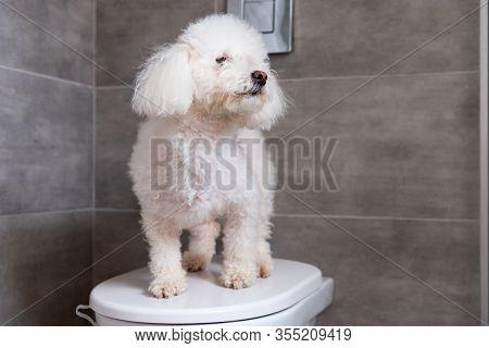 Fluffy Havanese Dog Standing On Toilet In Bathroom