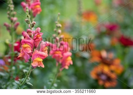 Purple Flowers Of Antirrhinum Or Dragon Flowers Or Snapdragons In A Green Flowers Garden