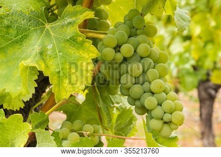 Bunch Of Pinot Gris Grapes On Vine In Organic Vineyard With Blurred Background