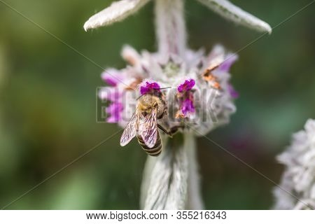 Honeybees Collect Nectar And Pollen From Stachys Byzantina, Lambs-ear, Woolly Hedgenettle, Stachys L
