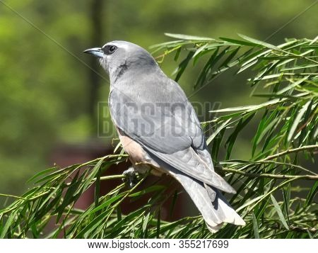 Close Up Of A White Browed Woodswallow Perched On A Branch