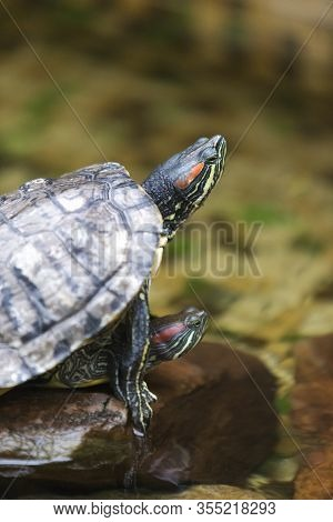 Pair Of Turtles Copulating Indoors In Water Basin. Vertical Image Composition