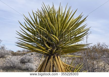 Beautiful Yucca Schidigera Mojave Yucca Plant Growing In Natural Environment In Mojave Desert Of Cal