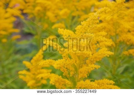 Canada Goldenrod, Rag Weed, Ragweed, Golden Rod Or Solidago Canadensis Flowers In Summer Garden Clos